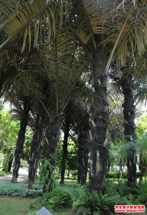 砂糖椰子的形态特征、生长习性和园林用途