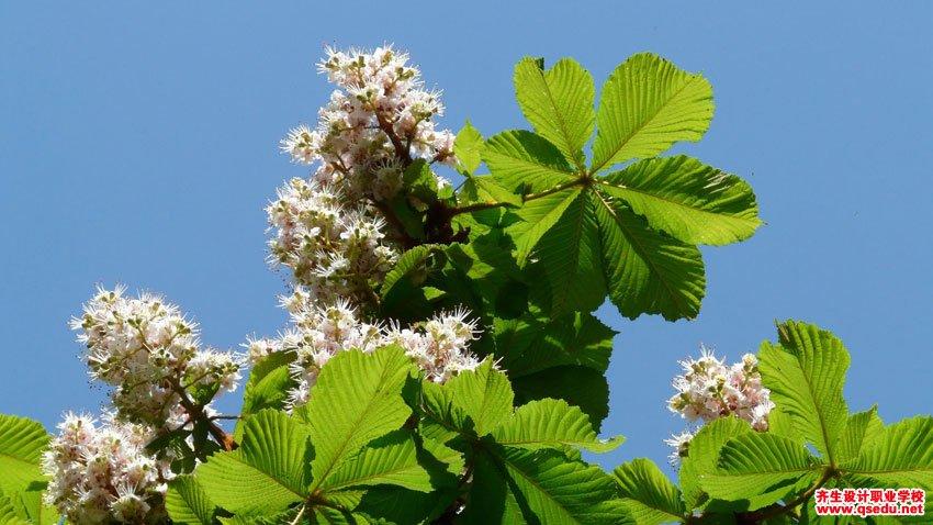 七叶树的形态特征,生长习性和园林用途图片