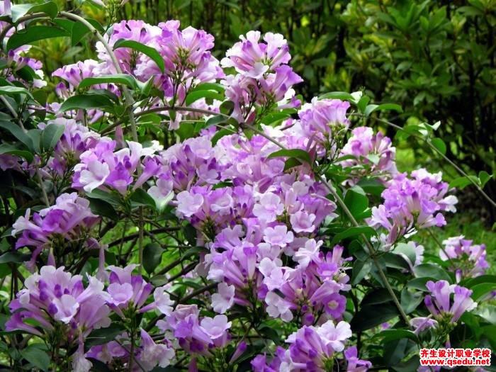 蒜喷鼻藤的花期、形状特点、发展习惯和园林用途