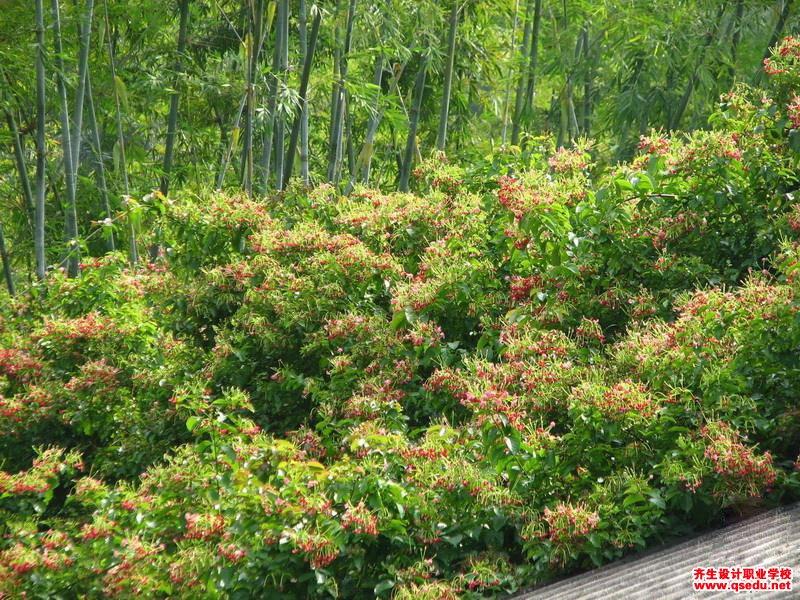使君子的花期、形态特征、生长习性和园林用途