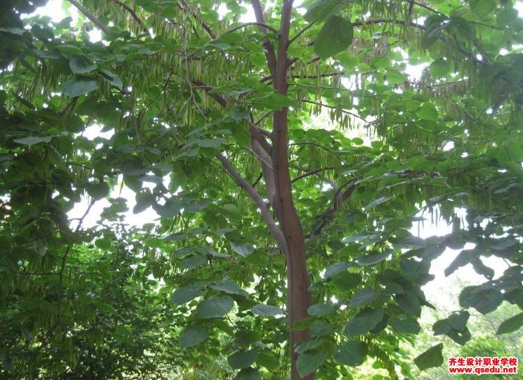 巨紫荆的花期、形态特征、生长习性和园林用途