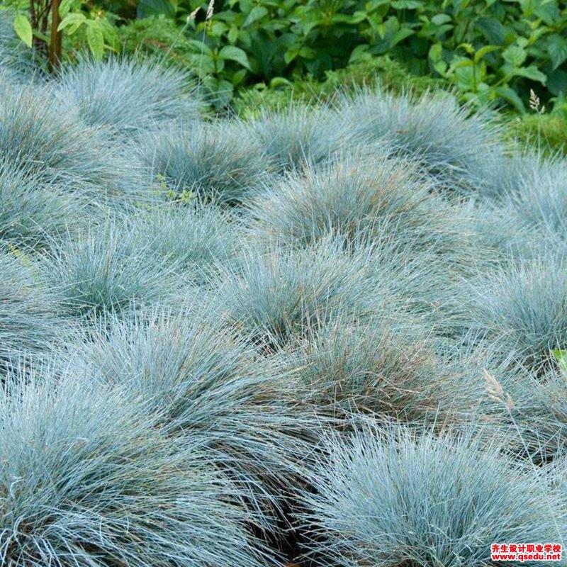 蓝羊茅的形态特征、生长习性和园林用途