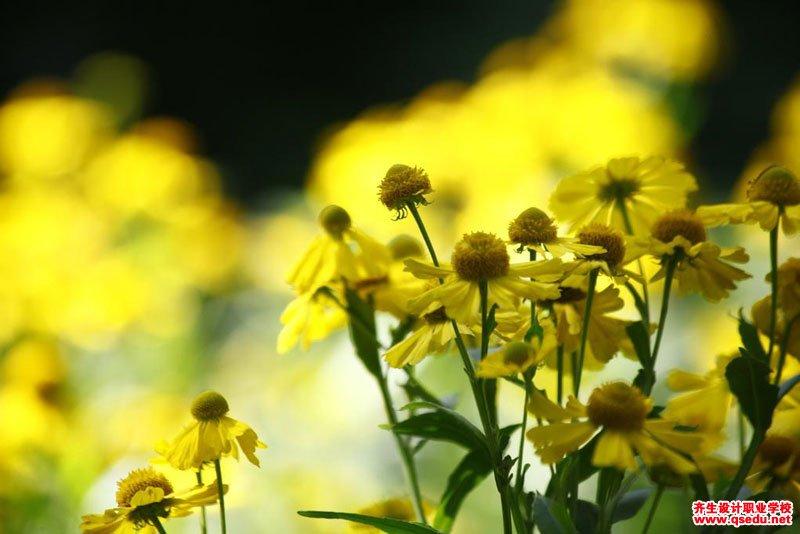 堆心菊的花期、形态特征、生长习性和园林用途