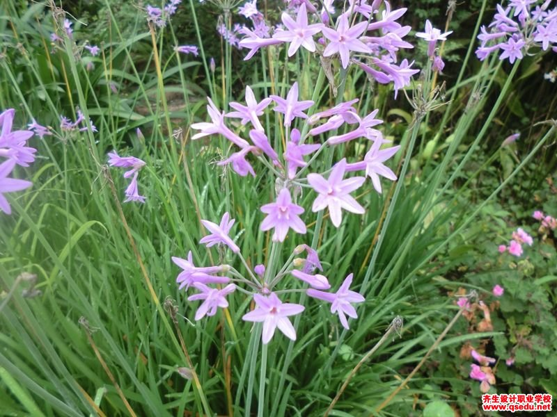 紫娇花的花期、形态特征、生长习性和园林用途