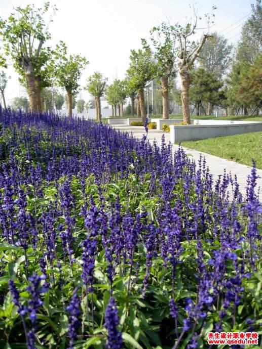 鼠尾草的花期、形态特征、生长习性和园林用途