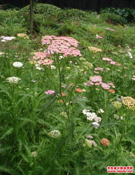 千叶蓍的花期、形态特征、生长习性和园林用途