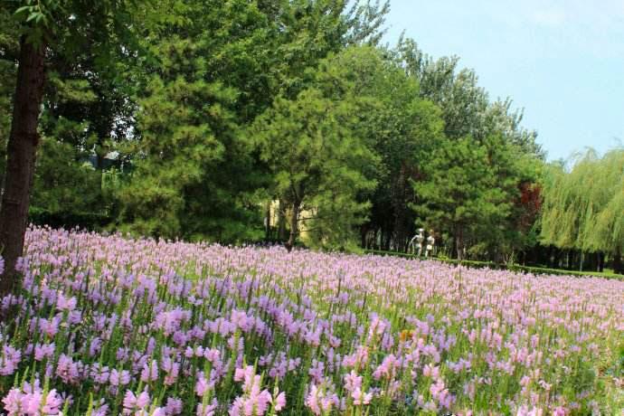 假龙头花(随意草)的花期、形态特征、生长习性和园林用途