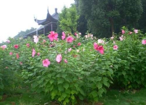 大花秋葵的花期、形态特征、生长习性和园林用途