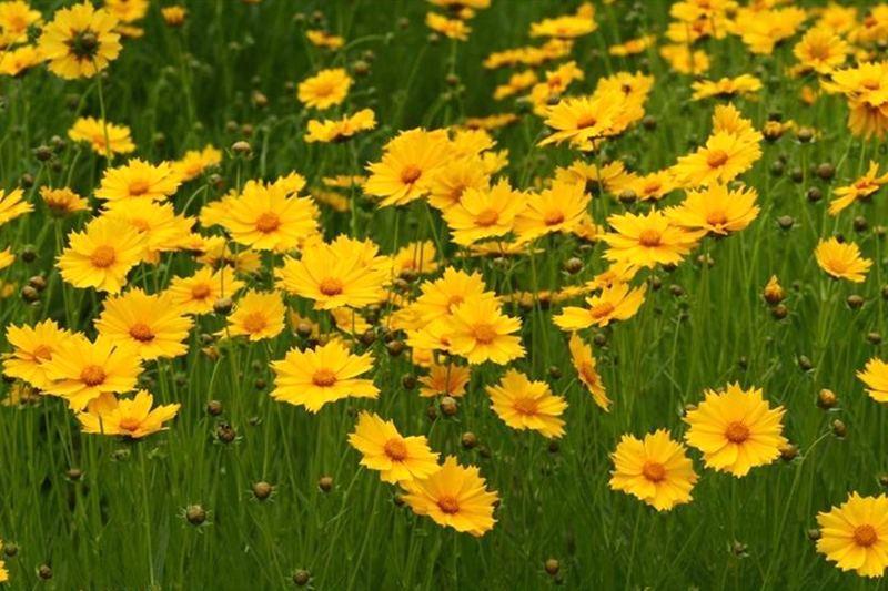 大花金鸡菊的花期、形态特征、生长习性和园林用途