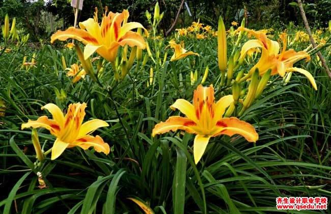 萱草花的别称_萱草的花期、形态特征、生长习性和园林用途-齐生设计职业学校
