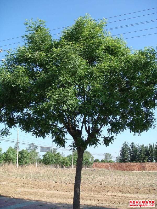 国槐的形态特征、生长习性和园林用途