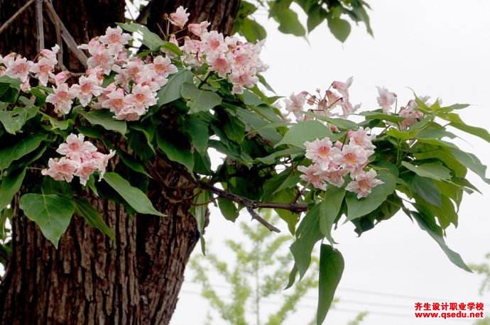 楸树的形态特征、生长习性和园林用途