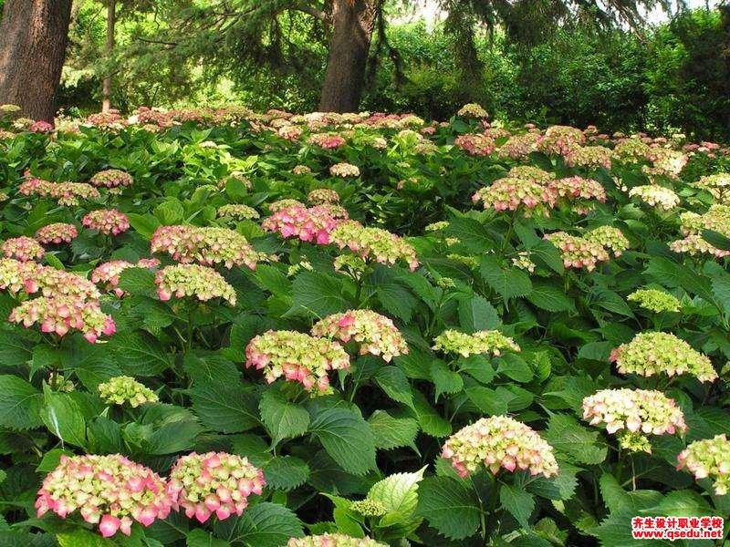 绣球的花期、形态特征、生长习性和园林用途