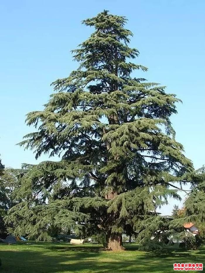 雪松的形态特征、生长习性和园林用途