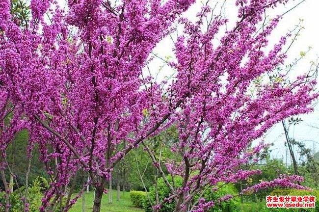 紫荆的花期、形态特征、生长习性和园林用途