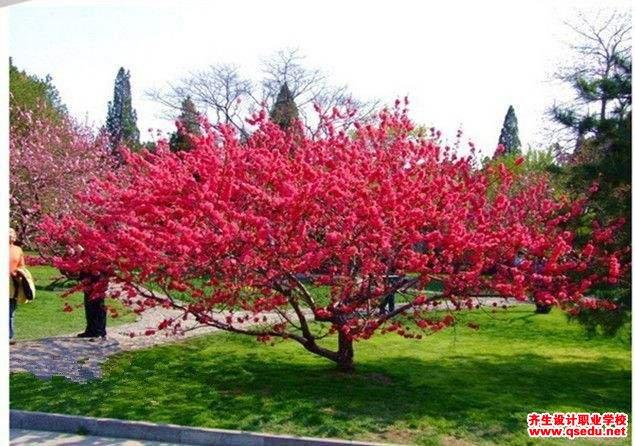 碧桃的花期、形态特征、生长习性和园林用途