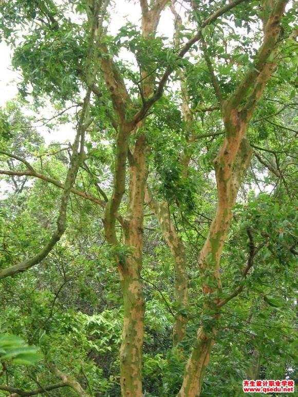 黄牛木的形态特征、生长习性和园林用途
