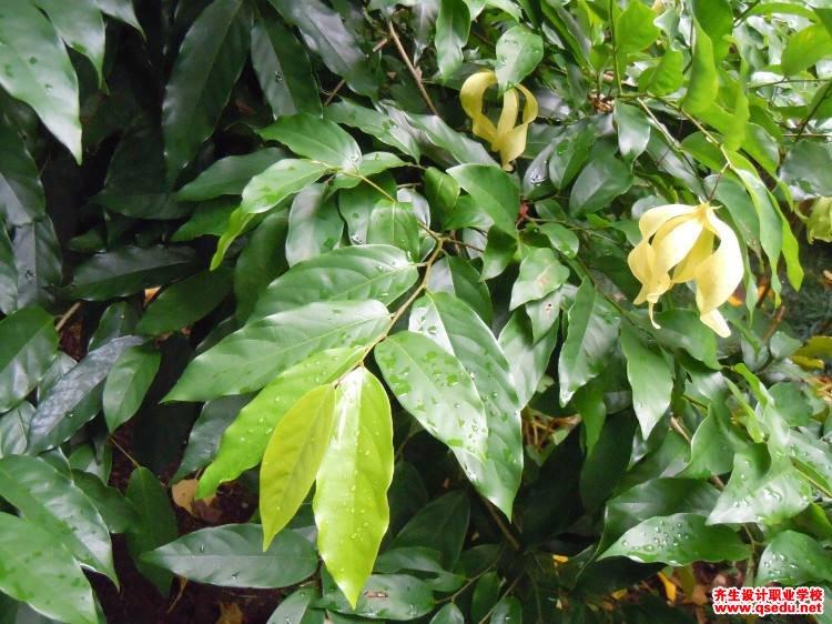 假鹰爪的花期、形态特征、生长习性和园林用途