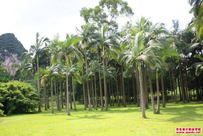 大王椰子(王棕)的形态特征、生长习性和园林用途
