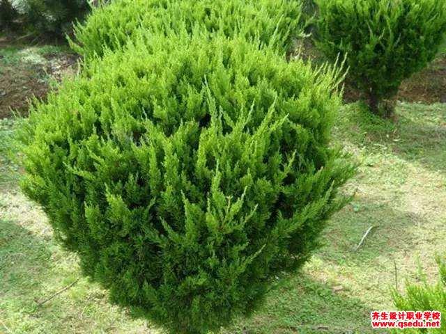 龙柏的形态特征、生长习性和园林用途