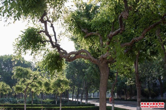 龙爪槐的花期、形态特征、生长习性和园林用途