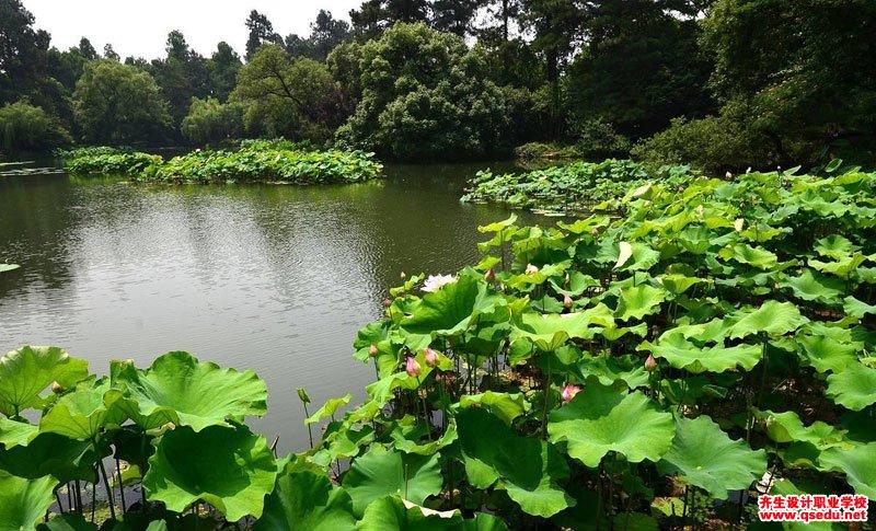 荷花的花期、形态特征、生长习性和园林用途
