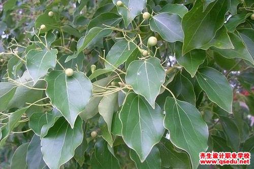 香樟树的形态特征、生长习性和园林用途