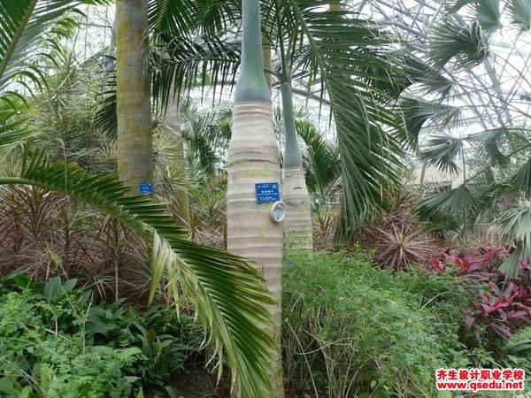 棍棒椰子的形态特征、生长习性和园林用途