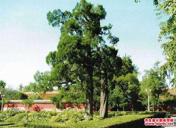 侧柏的形态特征、生长习性和园林用途
