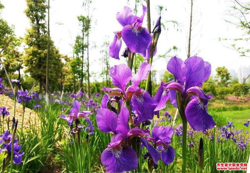 鸢尾的花期、形态特征、生长习性和园林用途