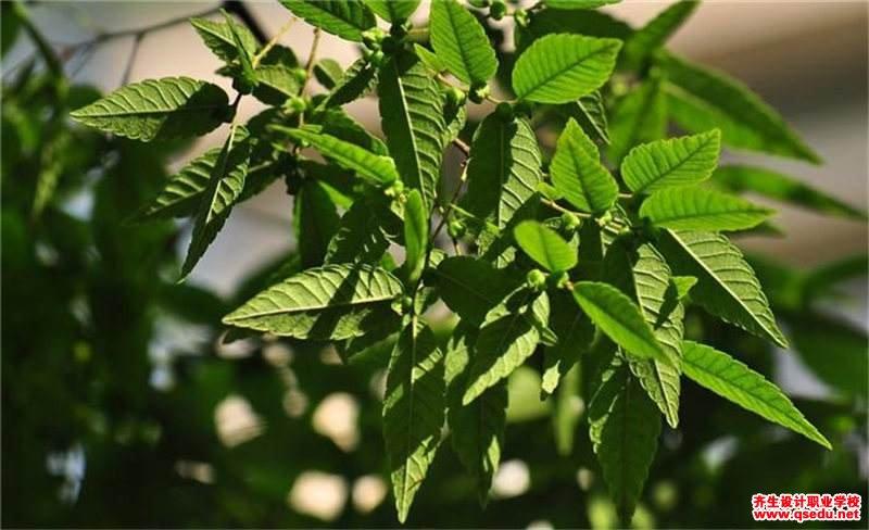 榉树的形态特征、生长习性和园林用途