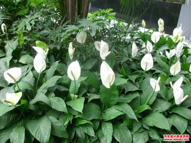白掌(白鹤芋)的花期、形态特征、生长习性和园林用途