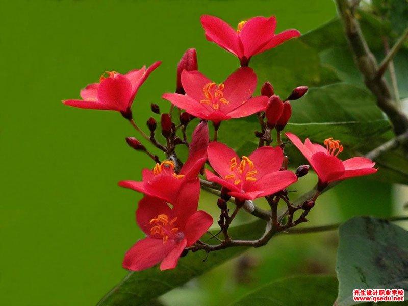 琴叶珊瑚的花期、形态特征、生长习性和园林用途