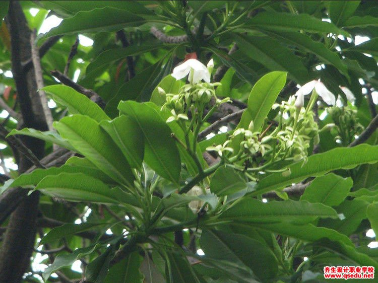 海芒果的花期、形态特征、生长习性和园林用途