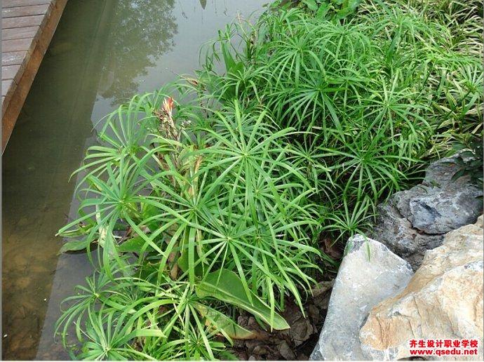 旱伞草的形态特征、生长习性和园林用途