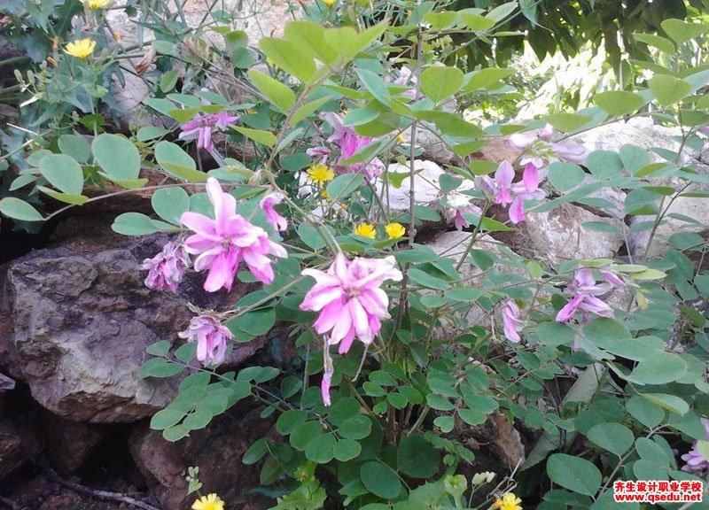 花木蓝的花期、形态特征、生长习性和园林用途