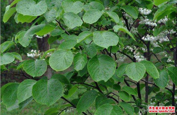 玉铃花的花期、形态特征、生长习性和园林用途