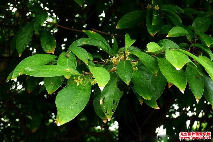 假苹婆的花期、形态特征、生长习性和园林用途