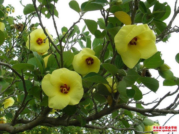 黄槿的花期、形态特征、生长习性和园林用途