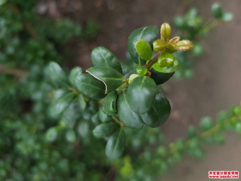 龟甲冬青的形态特征、生长习性和园林用途