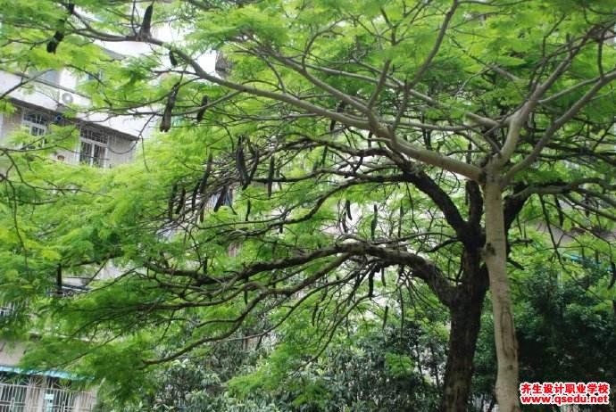 皂荚树的花期、形态特征、生长习性和园林用途