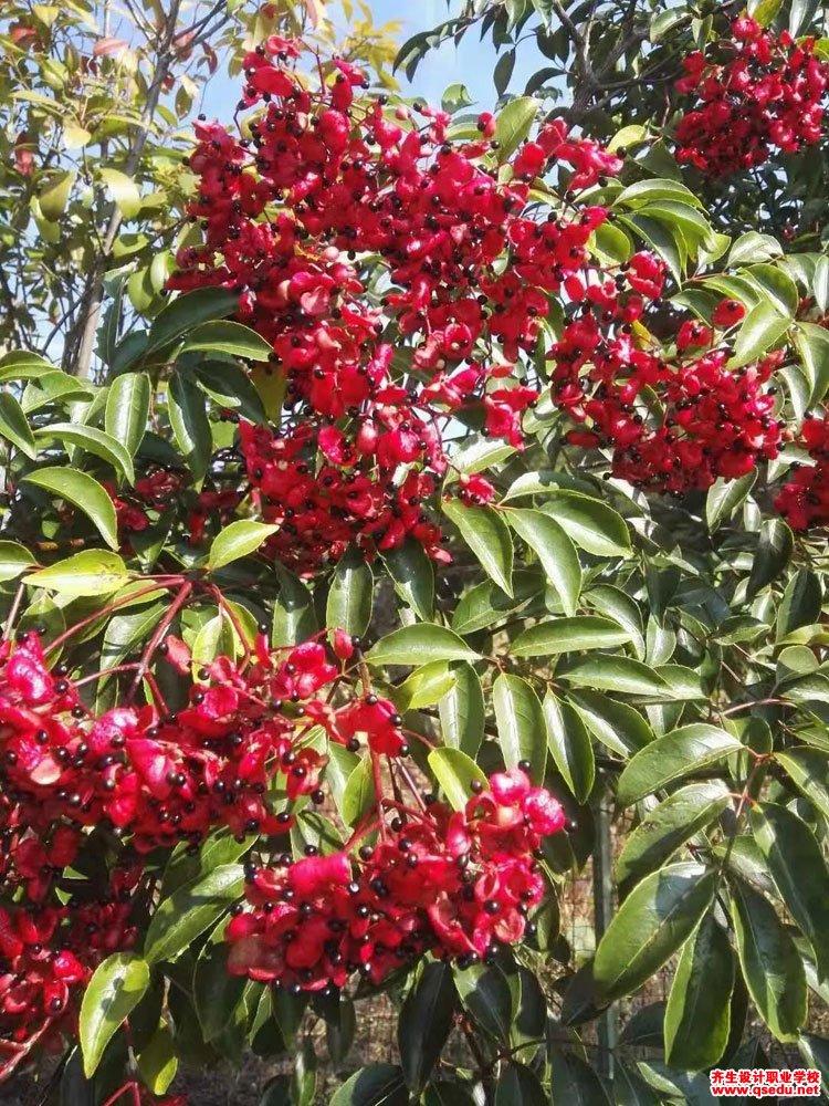野鸦椿的形态特征、生长习性和园林用途