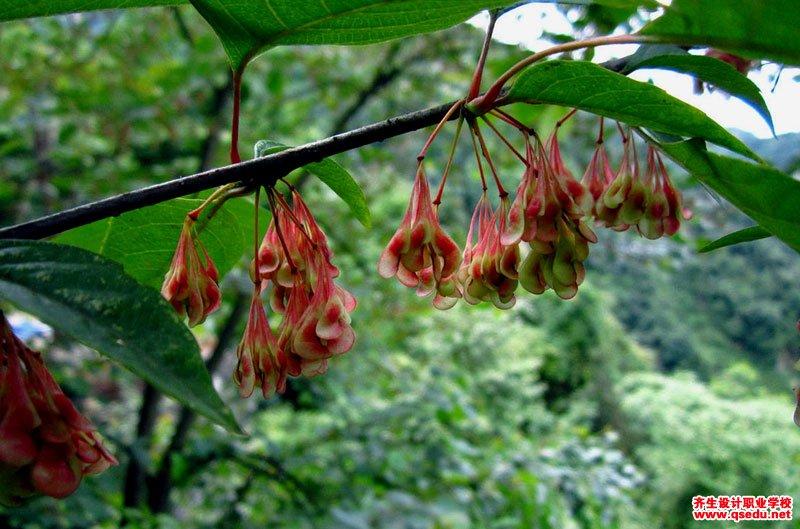 领春木的形态特征,生长习性和园林用途