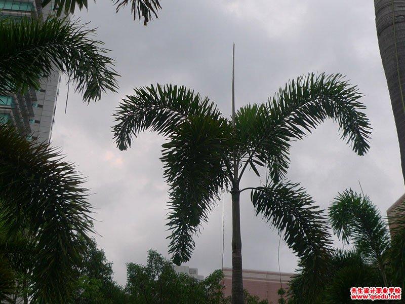 狐尾椰子的形态特征、生长习性和园林用途