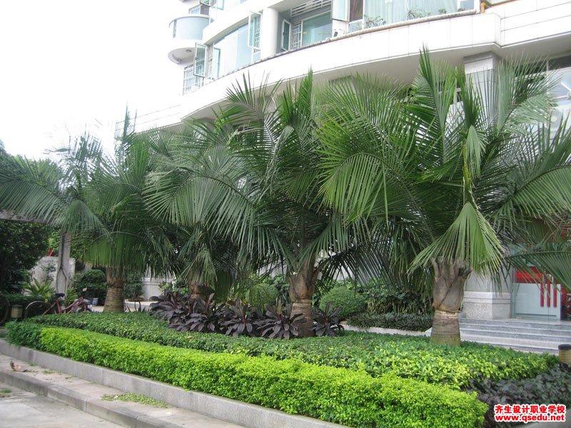 国王椰子的形态特征、生长习性和园林用途