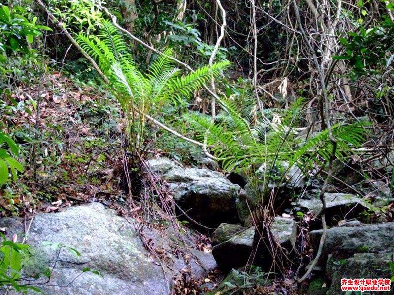 华南紫萁的形态特征、生长习性和园林用途