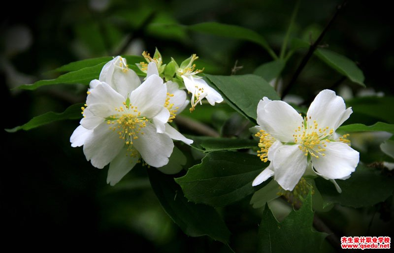 西洋山梅花的花期、形态特征、生长习性和园林用途