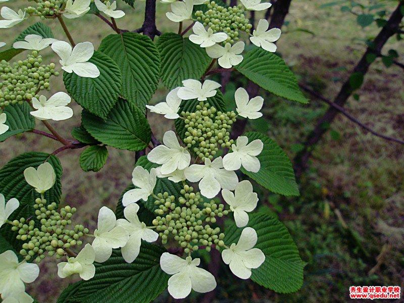 蝴蝶戏珠花的花期、形态特征、生长习性和园林用途
