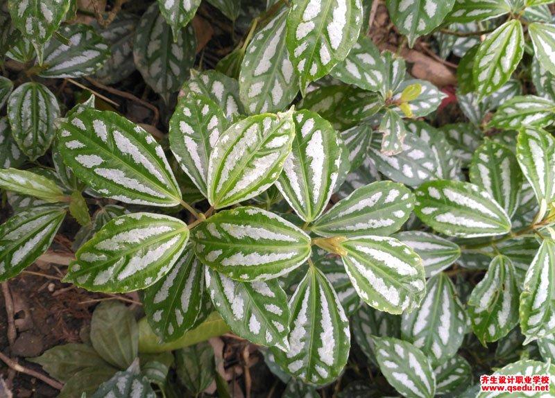 花叶冷水花的形态特征、生长习性和园林用途