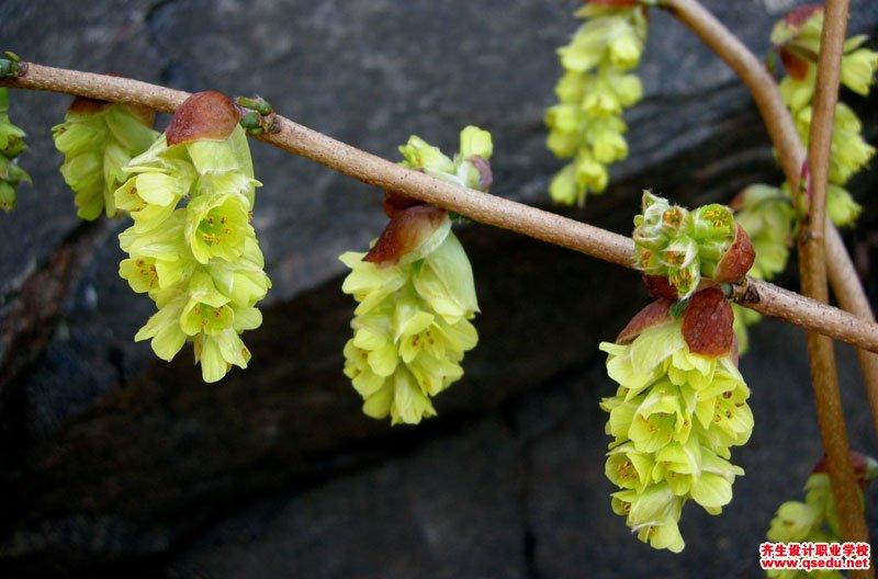 蜡瓣花的花期、形态特征、生长习性和园林用途